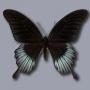 Papilio lowii