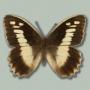 Satyridae Hipparchia sp.