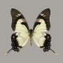 Eurytides dolicaon