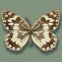 Satyridae Melanargia sp.