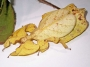 Phyllium bioculatum