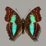 Dexocopa cherubina