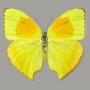 Phoebis rurina