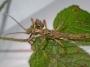 Aretaon asperrimus