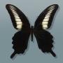 Papilio oenomaus