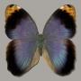 Caligo beltrao